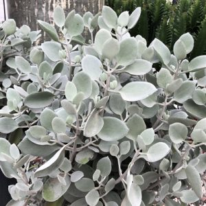 Kalanchoe 'Silver Spoons'