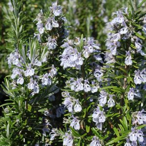 Rosmarinus officinalis 'Gorza' 200mm