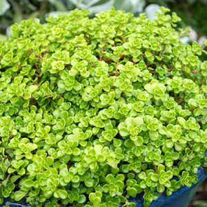 Sedum Green Mound 90mm