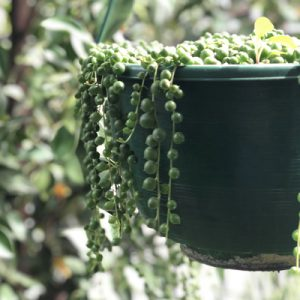 Senecio rowleyanus 'String of Pearls'