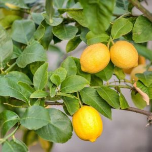 Citrus limon 'Eureka Lemon' 500mm