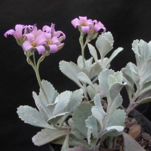 Kalanchoe 'Quicksilver' 170mm