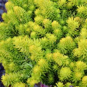 Sedum Gold Mound 100mm